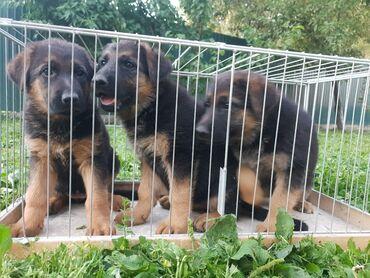 Животные - Орто-Сай: Готовы к продаже чистокровные щенки немецкой овчарки.~Родители с