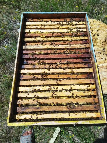 10926 объявлений: Балчелектер аарысы менен . Прод пчёлы . 26 шт . По 6 тысяч . По частям