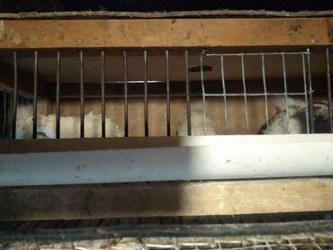 Животные - Ивановка: Продаю перепелов,с клеткой, с отсеком для яиц 8 самок-несушек и 1
