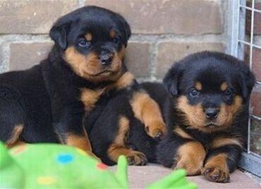 Για σκύλους - Αθήνα: Top quality Rottweiler puppies(100% Purebred). Nice and Healthy! Vet c