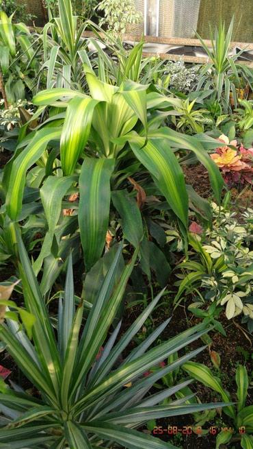 51 объявлений: Разные комнатные растения  напишите