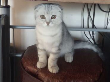 Животные - Нижний Норус: Куплю катёнка как на фото. Девочку.  3-4 месяца