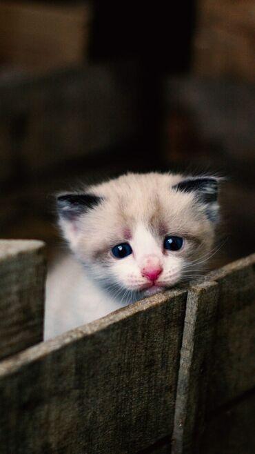 котенок в Кыргызстан: Нужен маленький котенок (мальчик)в надёжную руку. Возьму даром или