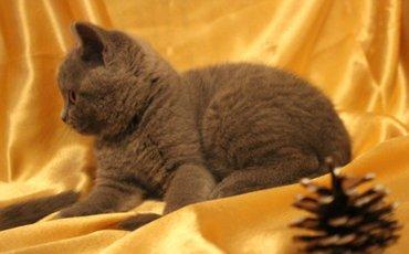 шотландская прямоухая в Азербайджан: Шотландские котята, страйт и фолд. Родились 22 февраля. Мама-мраморная