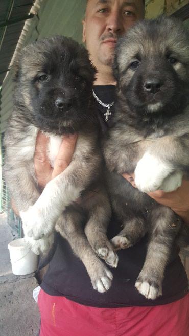 Продаются элитные щенки кавказской в Бишкек