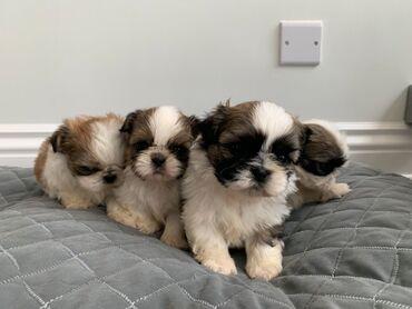 Για σκύλους - Αθήνα: Shih tzu puppies for adoptionShih tzu puppies for male and female