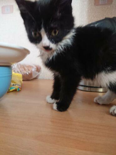 Коты - Кыргызстан: Очень ждёт своих любящих и заботливых хозяев малюсенький котёночек 1