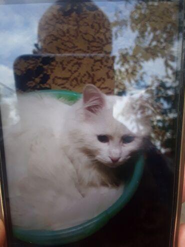 Коты - Кыргызстан: Продается молодой котик парода ангорская веселый добрый