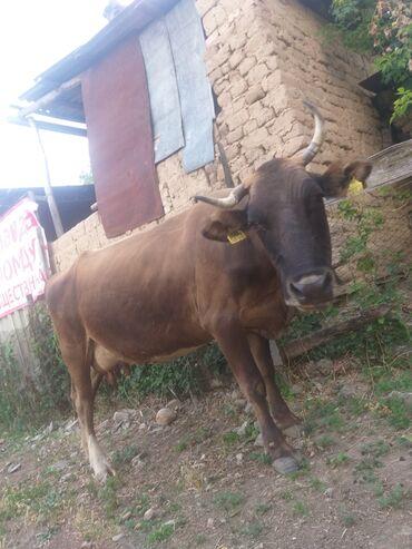 Животные - Орловка: Продаю | Корова (самка) | Алатауская | Для молока