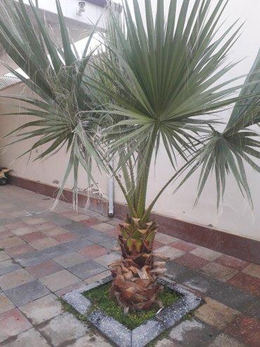 Bakı şəhərində Palma agaci. 1metrelik-300m, 1.5metrelik-600m, 2metrelik-900m, 2.5metr