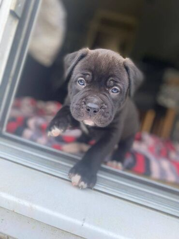 Πλήρης Αγγλικά Mastiff / Xl Bully PupsΤα κουτάβια θα φύγουν:- Το