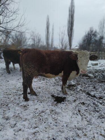 продам маламута в Кыргызстан: Продам корову крупная порода казахская степная белоголовая стальная 5