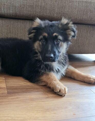 Το όμορφο γερμανικό κουτάβι σκυλί 12 εβδομάδων περπάτημα στο προβάδισμ