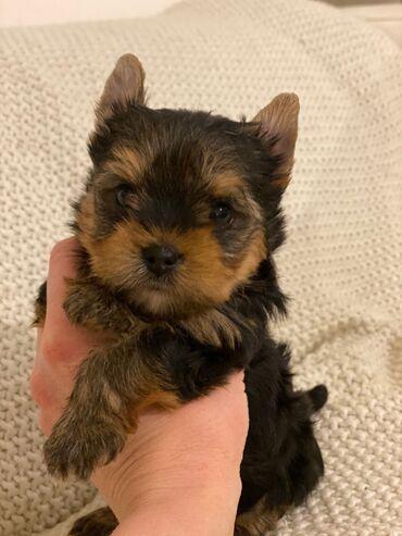 Για αγροτικά ζώα - Ελλαδα: Yorkshire Terrier μωρά έτοιμα τώραWhatsapp (+)Το Forest Minions