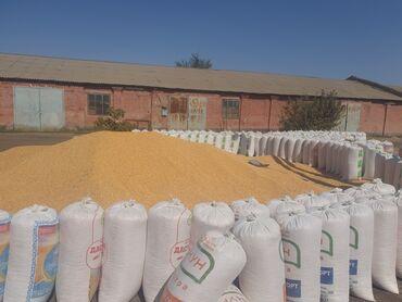 снять дом в кара балте частный в Кыргызстан: Продаю кукурузу сорт кариоки, пако влажность 13.5 на объём поговорим