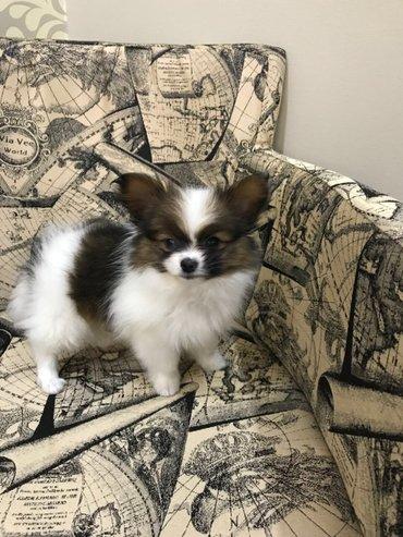 Bakı şəhərində продаётся щенок папильон(папийон) ,  дата рождения : 07. 01. 2018