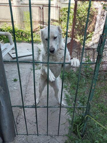 Животные - Новопокровка: Алабайсука 4 года . Домашняяс паспортом и со всеми прививками