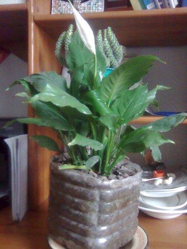 продаю комнатные цветы: каланкой - 30см. и отростки,  золотой ус в Бишкек