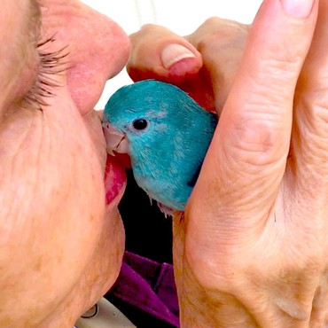 Single Parrotlet – Female (hand fed) σε Achaea