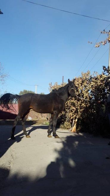 Лошади из России в Кант - фото 5