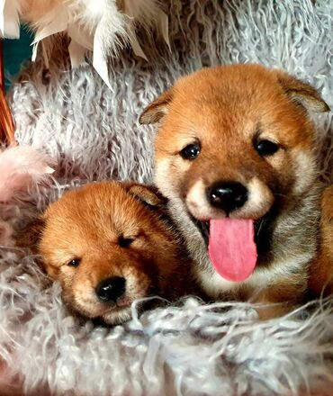 Amazing Shiba Inus PuppiesShiba Inus puppies available for any