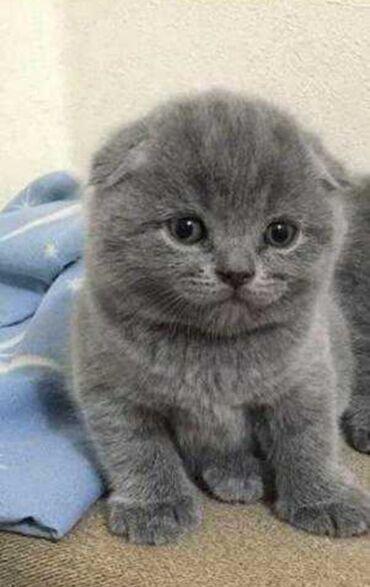 шотландская прямоухая в Кыргызстан: Продаю шотландского выслоухии котенка 8 месяцев, красавец добрый умный