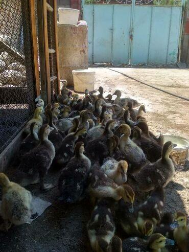 Животные - Кара-Суу: Ордок баласы Ордок жожо