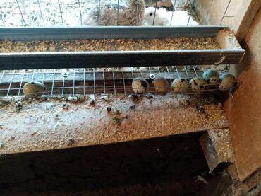 Птицы - Базар-Коргон: Продам перепелки несушки и молодняк а так же принимаем заказы на переп