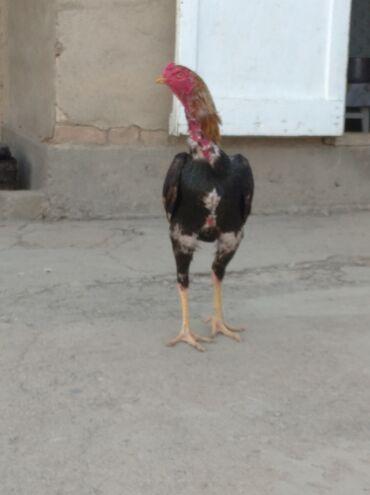 Животные - Кызыл-Адыр: Куры, петухи