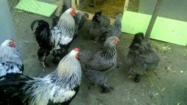 Bakı şəhərində Temiz qan Dark Brama yumurtası..90% mayalı ...Hayvanlar göz