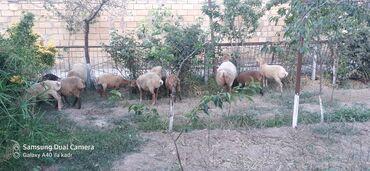 qoyunlar - Azərbaycan: 2 ana qoyun ekiz balali yanda 2si de bogazdi. 1 qoc 3 dene erkek