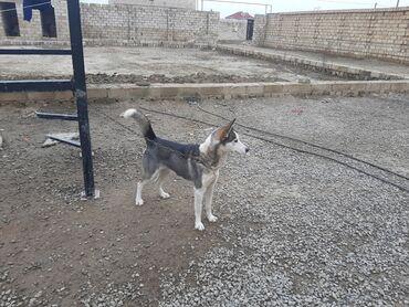xaski it - Azərbaycan: Temiz Qan Xaski iti satilir erkeydi 1il 4 ayliqdi Barter mumkundu
