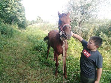 Животные - Дачное (ГЭС-5): Продаю | Жеребец | Полукровка | Конный спорт