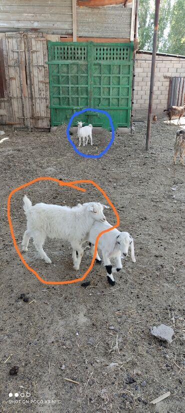 Продаю козлят. Черно белый козёл 3.5 месяца,белая девочка 2