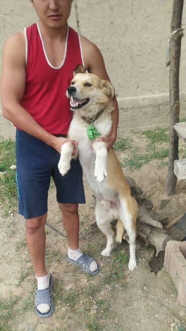 Животные - Тынчтык: Отдам хорошего друга семьи в хорошие руки!!!при условии если собака не