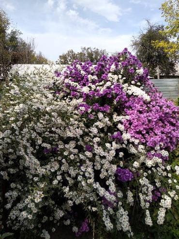 Продаю садовые цветы ( луковицы, корневища). Пионы, астра многолетка