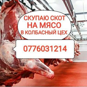 С/х животные - Кыргызстан: СКУПАЮ СКОТ И ВЫНУЖДЕНЫЙ ЗАБОЙ СКОТА В КОЛБАСНЫЙ ЦЕХВЫЕЗД НА ДОМ