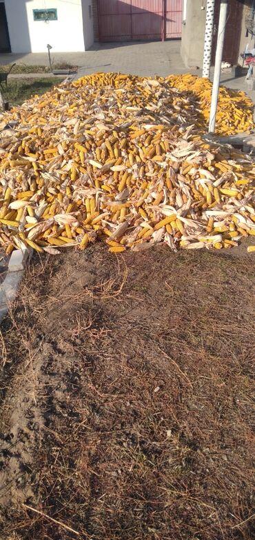 186 объявлений | ЖИВОТНЫЕ: Продаю кукурузу