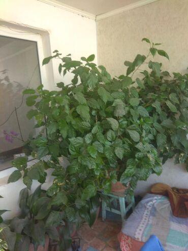 Другие товары для дома в Ак-Джол: Огромная китайская роза для офиса