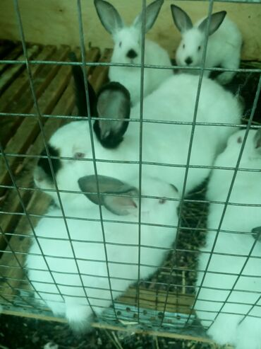 Продаю кроликов чистокровные Калифорния 2-2,5 месяца по 500-600 сом