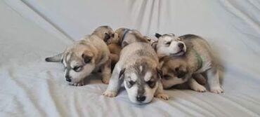 Έχουμε 7 όμορφα γκρι λύκους (agouti) κουτάβια 2 κορίτσια 5 αγόρια όλα