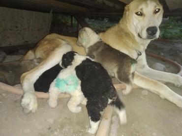 Продаю щенков САО Алабай родились в Бишкек