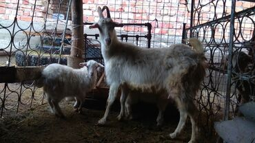 Продаю | Коза (самка), Козлёнок | Зааненская | Для разведения, Для молока | Племенные