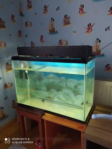 tolstolob baligi - Azərbaycan: Akvarium satılır icində balığı saxsı qabı süni ot filtr termometr su