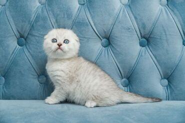 Gorgeous Scottish Kittens for adoption WhatsApp me +33  Gorgeous Scott
