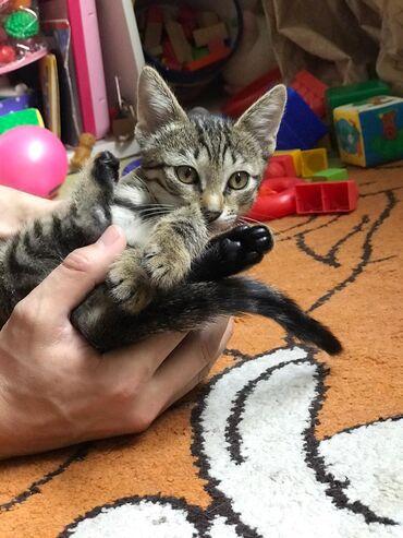 Домашний котенок девочка, 2,5 месяца, бесплатно в добрые руки