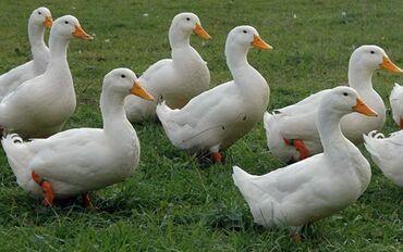 Продаются Пекинские утки живым весом 1кг 250 сом. В количестве 50 шт