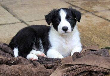 Border Collie puppies Black and White tricolor Border Collie puppies