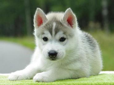 приму-даром в Кыргызстан: Приму даром породистые собаки