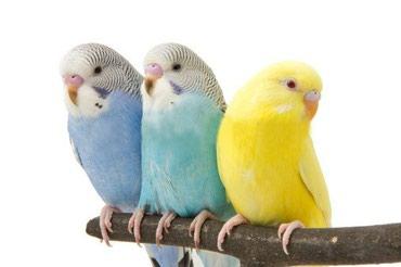 волнистые попугаи размножение в Кыргызстан: Волнистые попугаи птенцы хорошо учатся разговаривать!